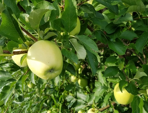 Top 10 tips for picking your own apples