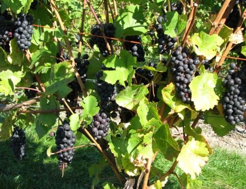 History of Michigan Winemaking