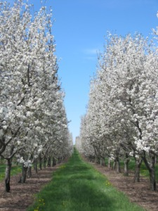 Photo between to rows of blossoming cherry trees