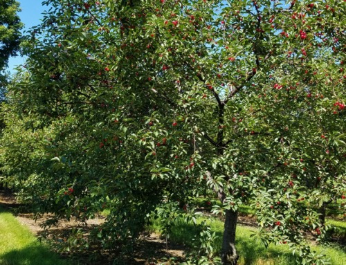 Traverse City becomes the nation's cherry capital